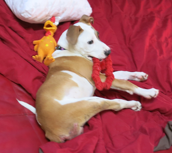 Daisy lying on a blanket, with a red toy in her mounth