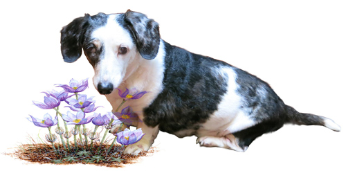 Jake the dachshund and purple flowers